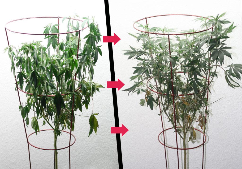 Zwei cannabis Pflanzen: Links welkende cannabis Blättern und Rechts hängende Blättern
