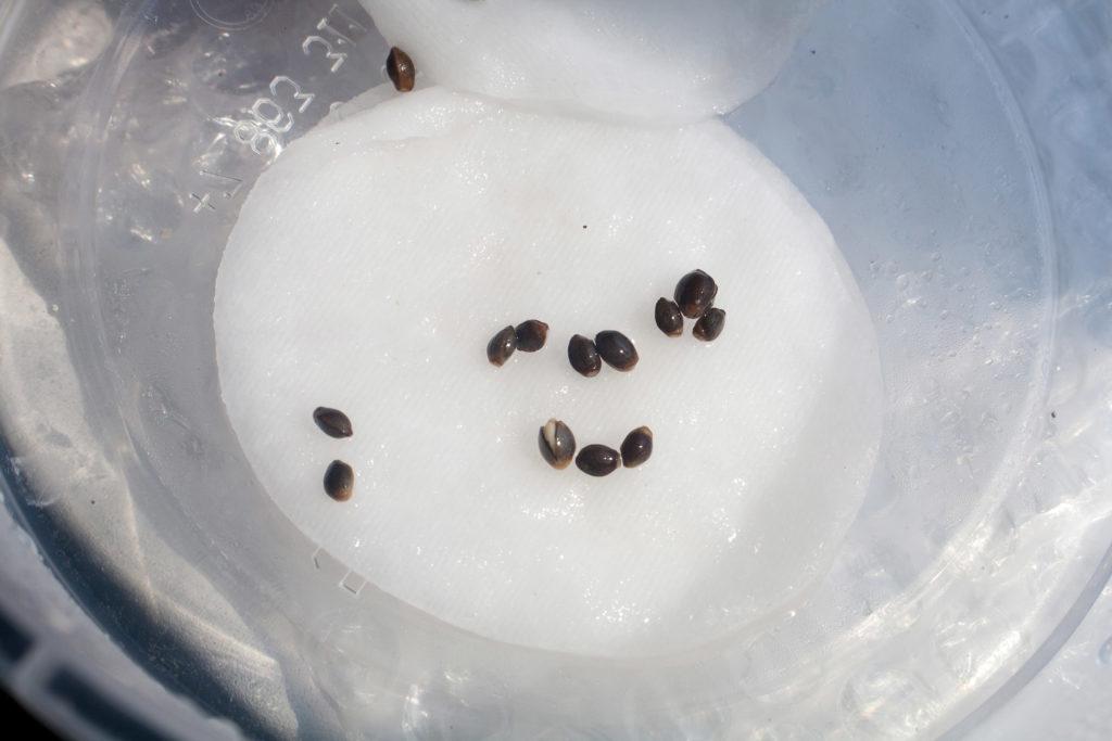 Comment faire germer des graines de cannabis - WeedSeedShop Blog