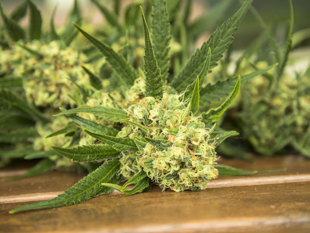 Wann und wie du deine Cannabis Pflanze erntest