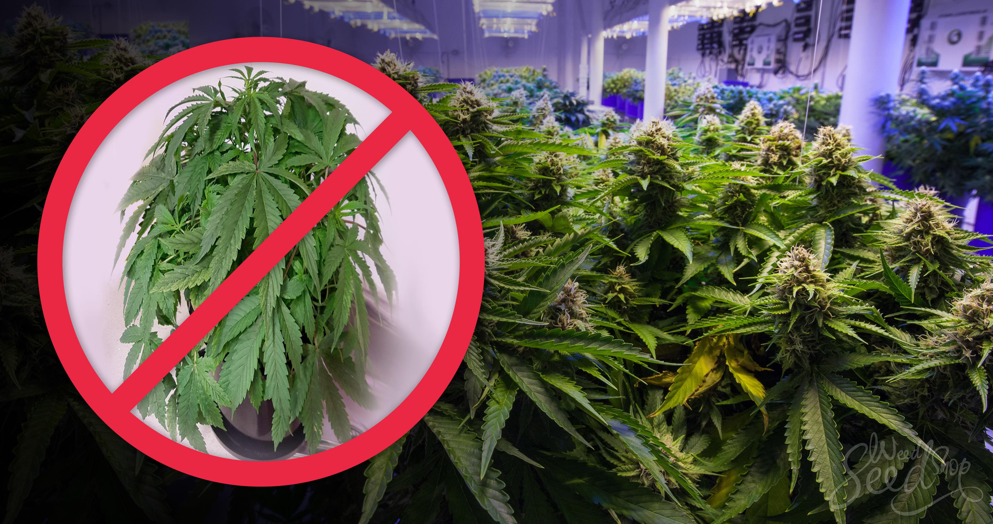 Réparer des feuilles de cannabis qui se flétrissent - Weed Seed Shop Blog