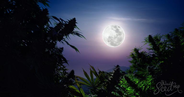 Planten volgens de maan: Hoe gebruik je de maanfases om wiet te kweken