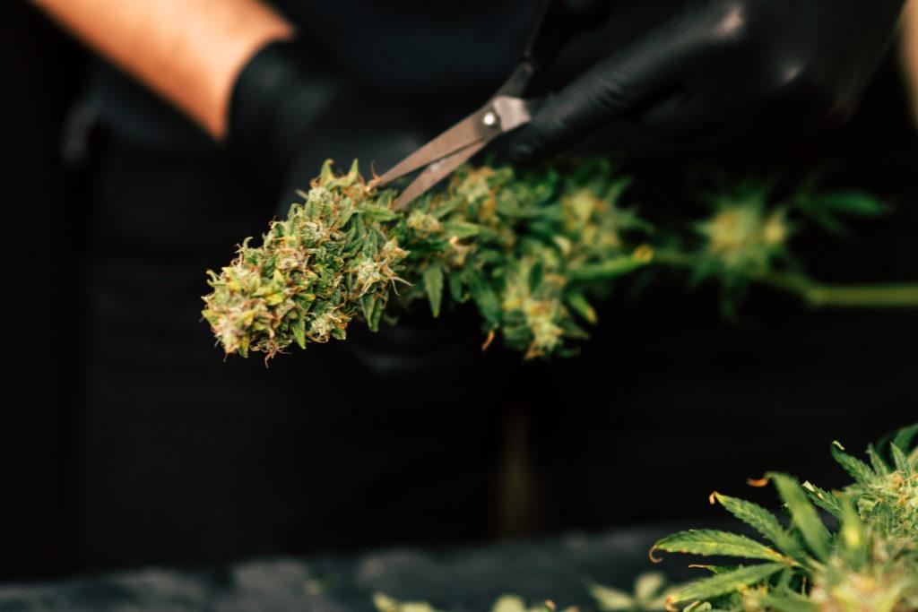 Der Lebenszyklus einer Cannabis-Pflanze: 6 Stadien - WeedSeedShop