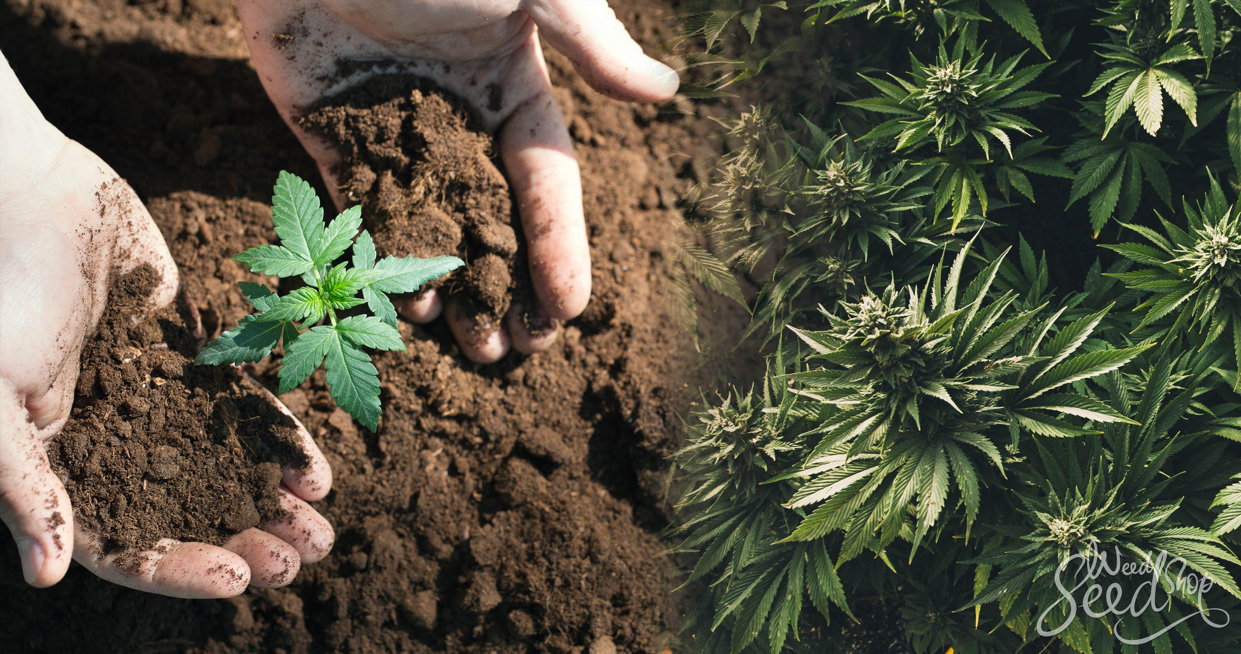 El ciclo de vida de una planta de marihuana - WeedSeedShop