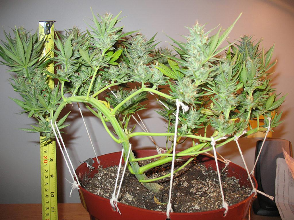Low Stress Training (LST) pour le cannabis - WeedSeedShop