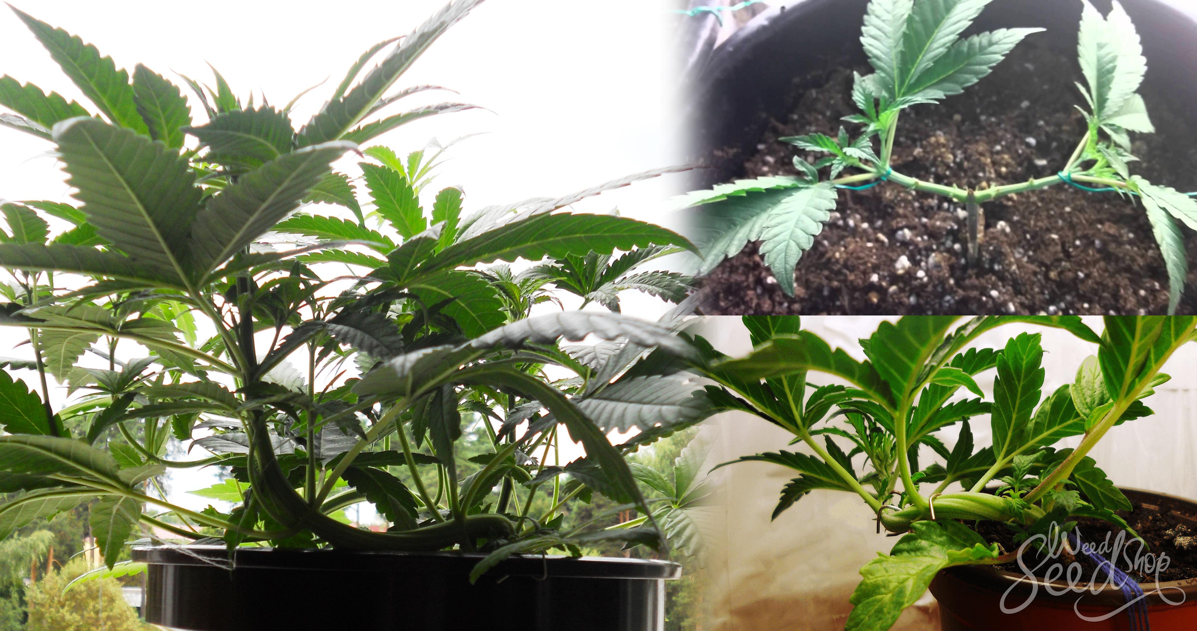 Die Technik des Low Stress Training (LST) - WeedSeedShop