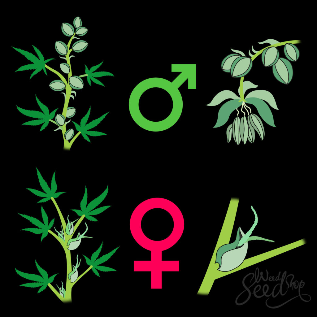Hoe Je Weet of Je Wietplant Mannelijk of Vrouwelijk is