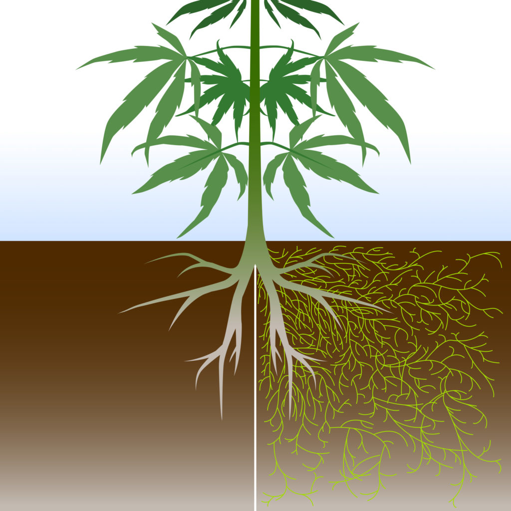 Mycorrhizae: These Fungi Can Benefit Your Cannabis Plants