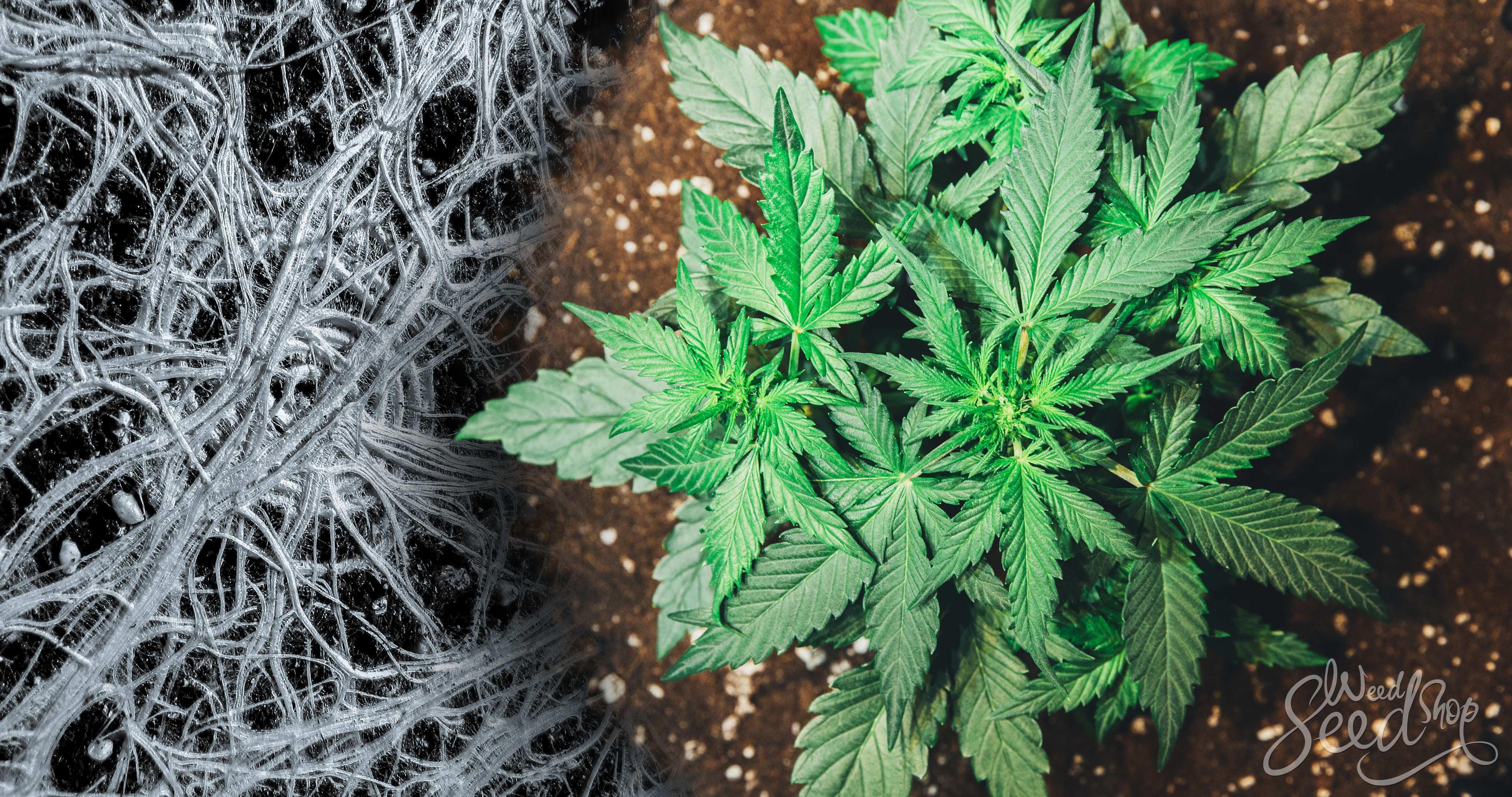Cómo la micorriza puede beneficiar tus plantas de cannabis
