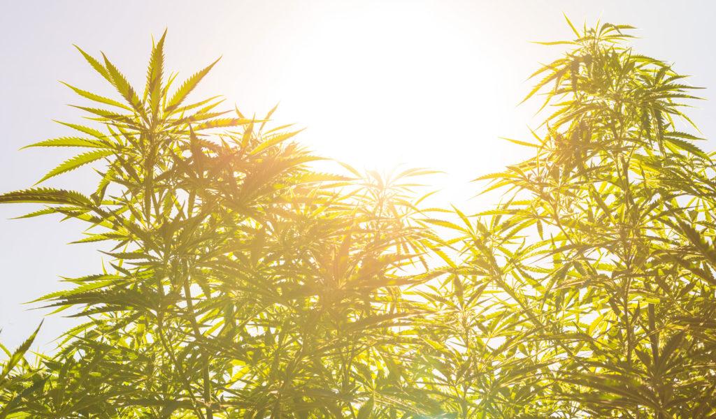 Wie man biologisches Marihuana anbaut. Eine unverzichtbare Anleitung für deinen biologischen Marihuana-Garten
