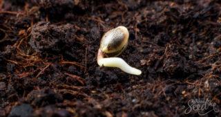 Du terreau fait maison pour les cultivateurs de cannabis