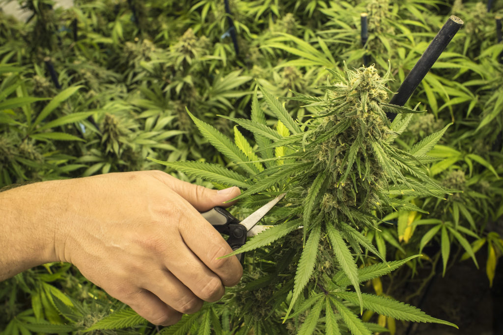 Weed Plants Budding Too Early 6 Tips For Pruning You...