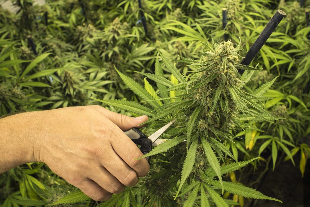 6 astuces pour bien tailler tes plantes de cannabis - WeedSeedShop