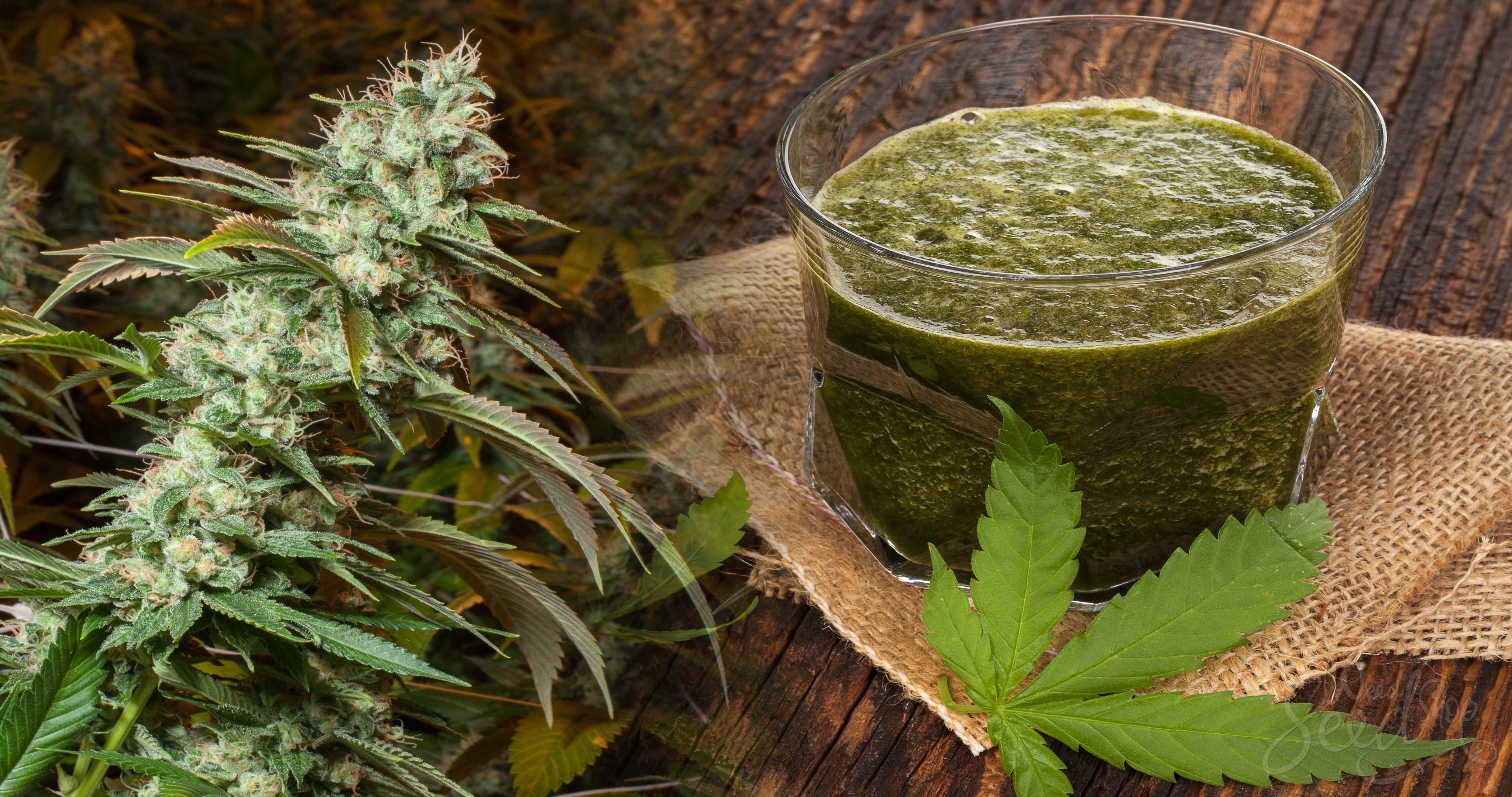 ¿Sabes cuáles son los beneficios del cannabis exprimido para la salud? - Weed Seed Shop Blog