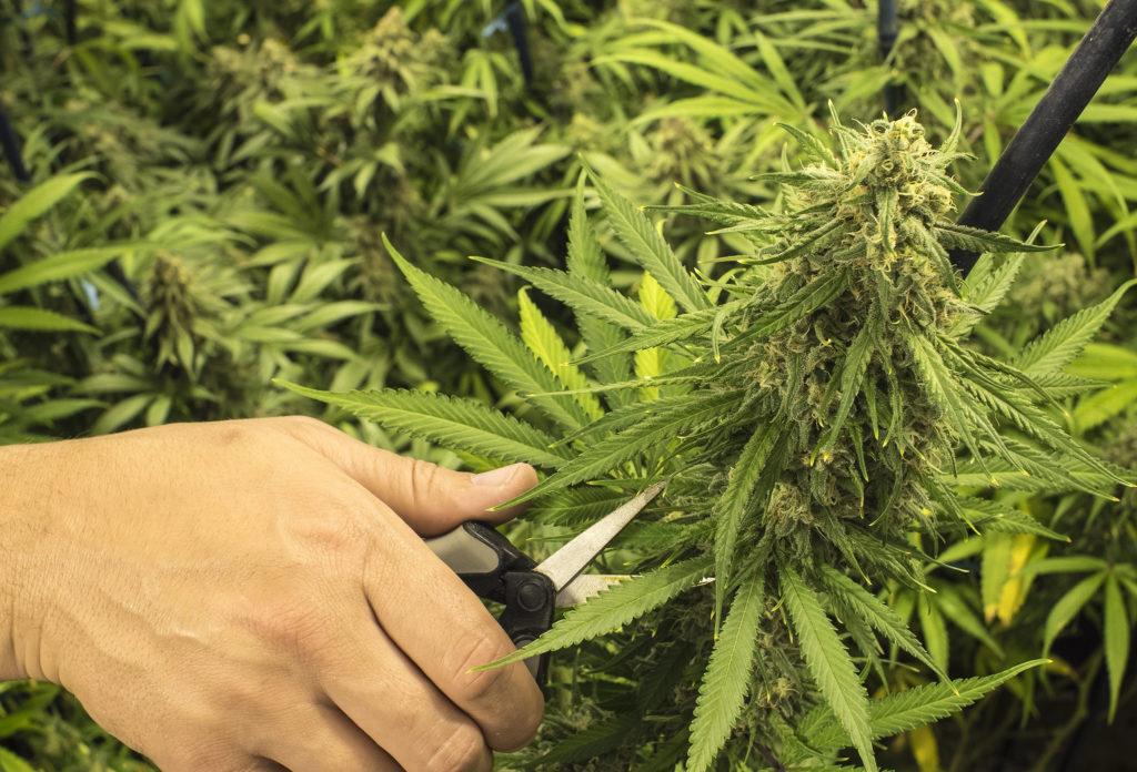 La distribución de glucosa en la marihuana - Weed Seed Shop Blog