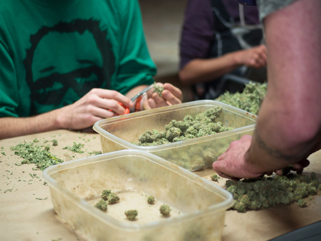 Wie du dein Cannabis Knospen richtig trimmst - WeedSeedShop Blog