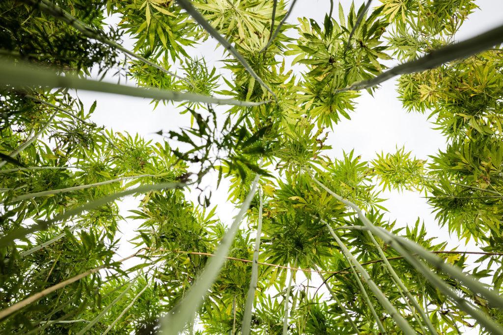 The Osmosis Effect in Marijuana Plants