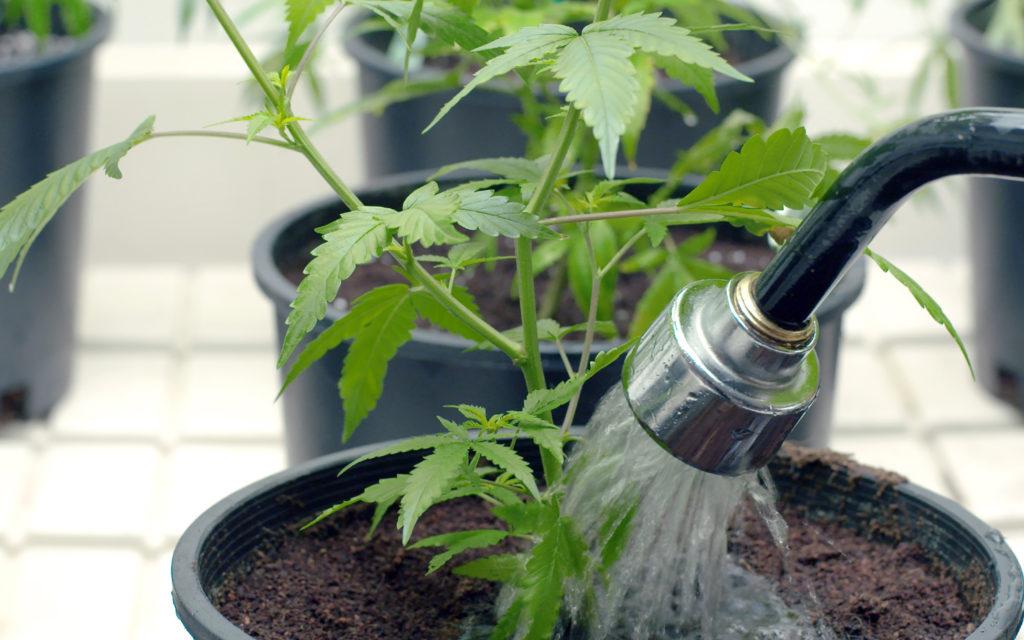 Cannabis Pflanze mit Wasser besprühen