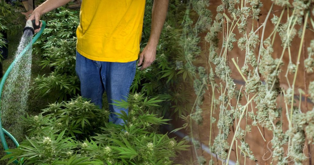 Why, When & How to Flush Cannabis Plants- WeedSeedShop