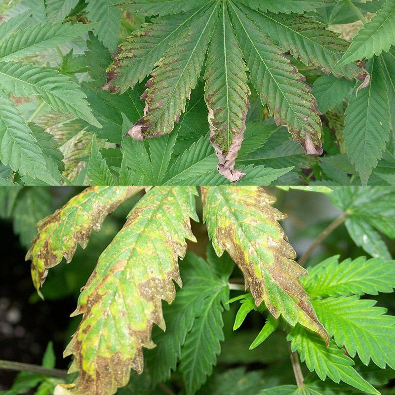¿Debes enjuagar tus plantas de cannabis? - WeedSeedShop