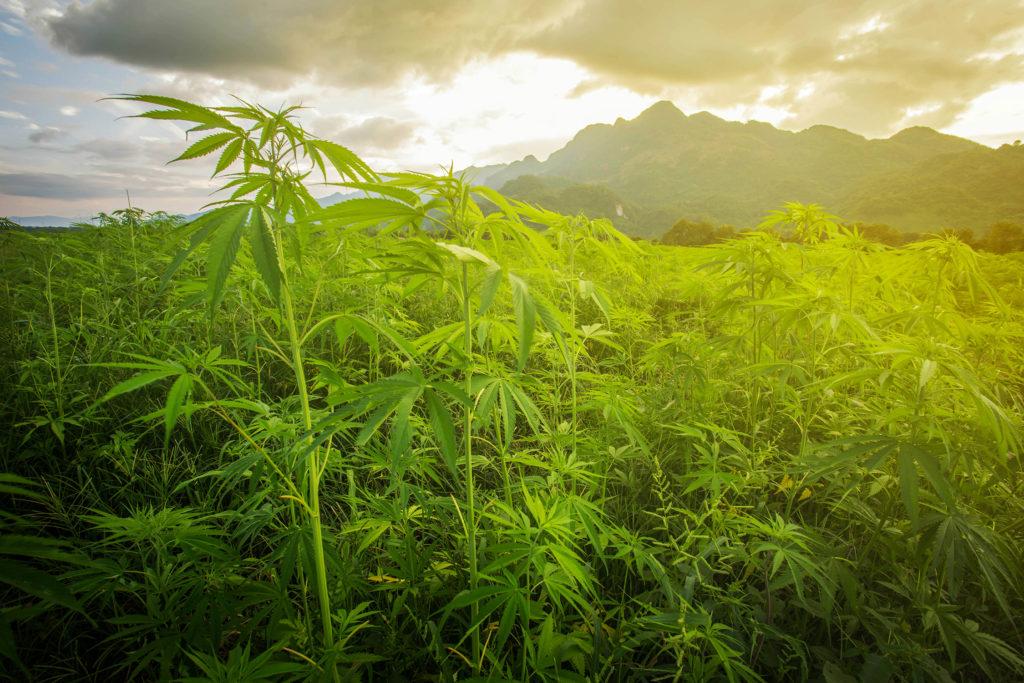 ¿Dónde crece el cannabis en la naturaleza? - Weed Seed Shop Blog