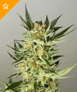 AK48 Automatic Seeds - Weed Seed Shop UK