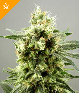Diesel Haze Automatic Seeds