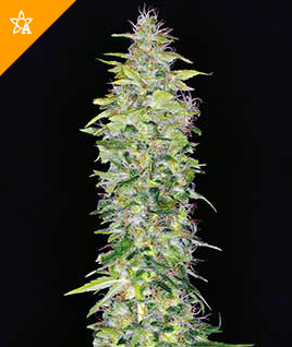 Northern Lights Automatic Seeds