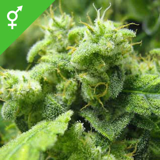Afghan Seeds - Weed Seed Shop UK