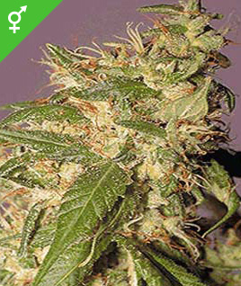 cannabis marijuana seeds skunk red hair