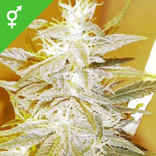 Swiss Miss Seeds - Weed Seed Shop UK