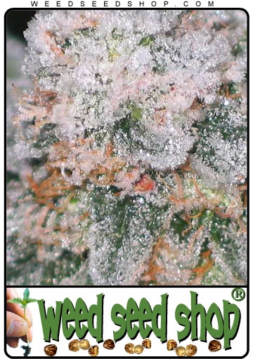 Picture of Ice cannabis bud