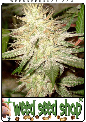 Cannabis Seeds of White Widow
