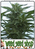 cannabis Seeds of Hawaii Maui Waui marijuana