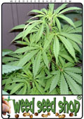 cannabis Seeds of Hindu Kush marijuana