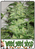 cannabis Seeds of Nirvana Special marijuana