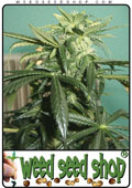 bud seeds of Silver Pearl marijuana