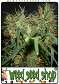cannabis Seeds of Skunk Special marijuana