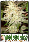 cannabis Seeds of White Widow marijuana