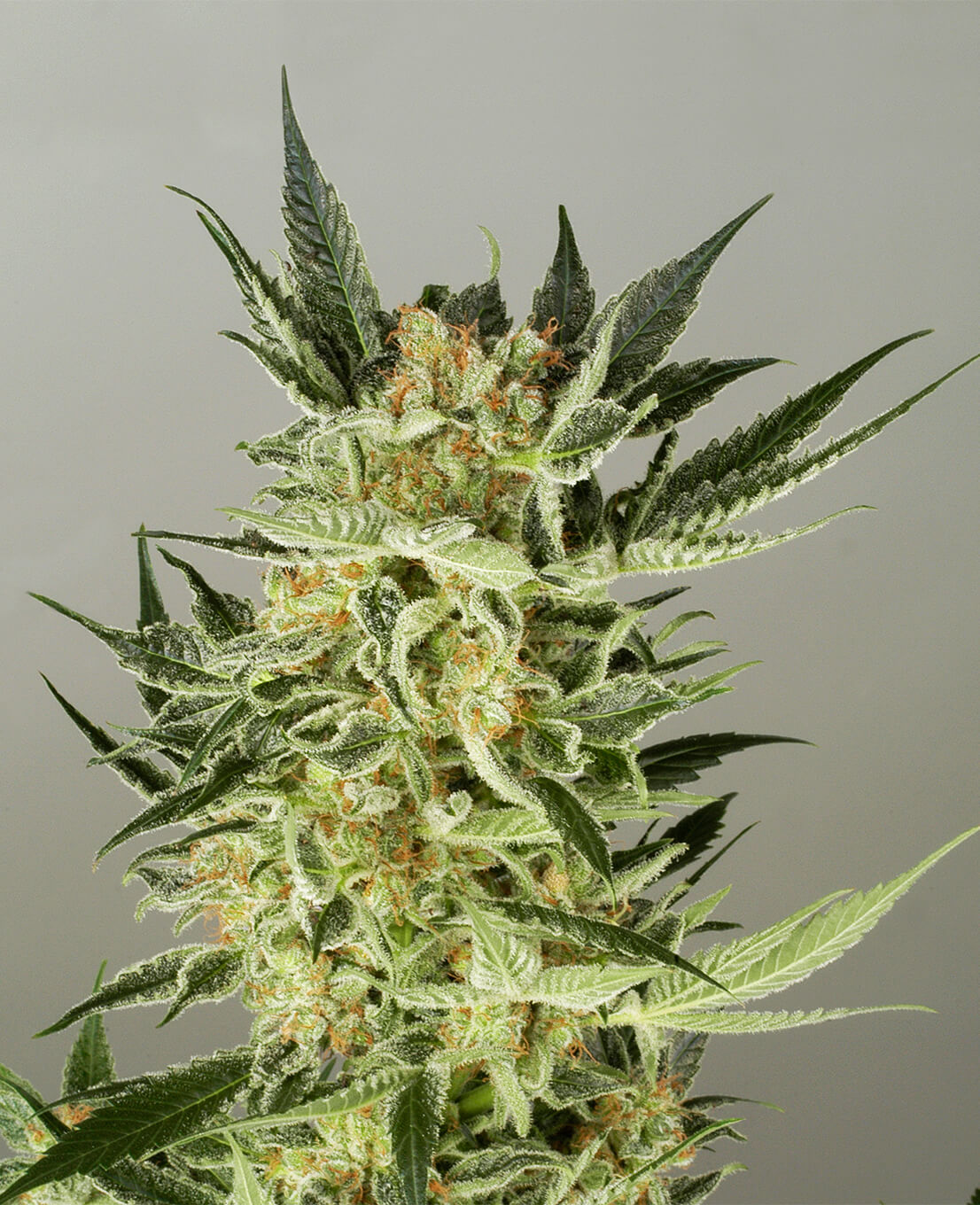 AK48 Automatic Hanfsamen - Weed Seed Shop
