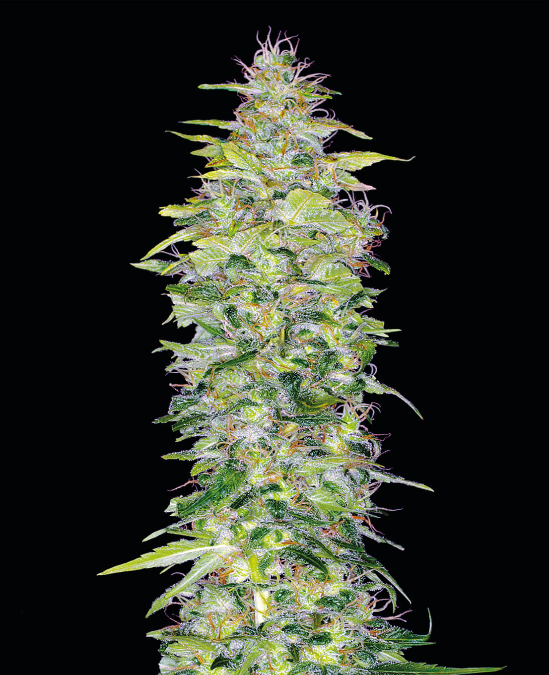Northern Lights Automatic Samen - Weed Seed Shop