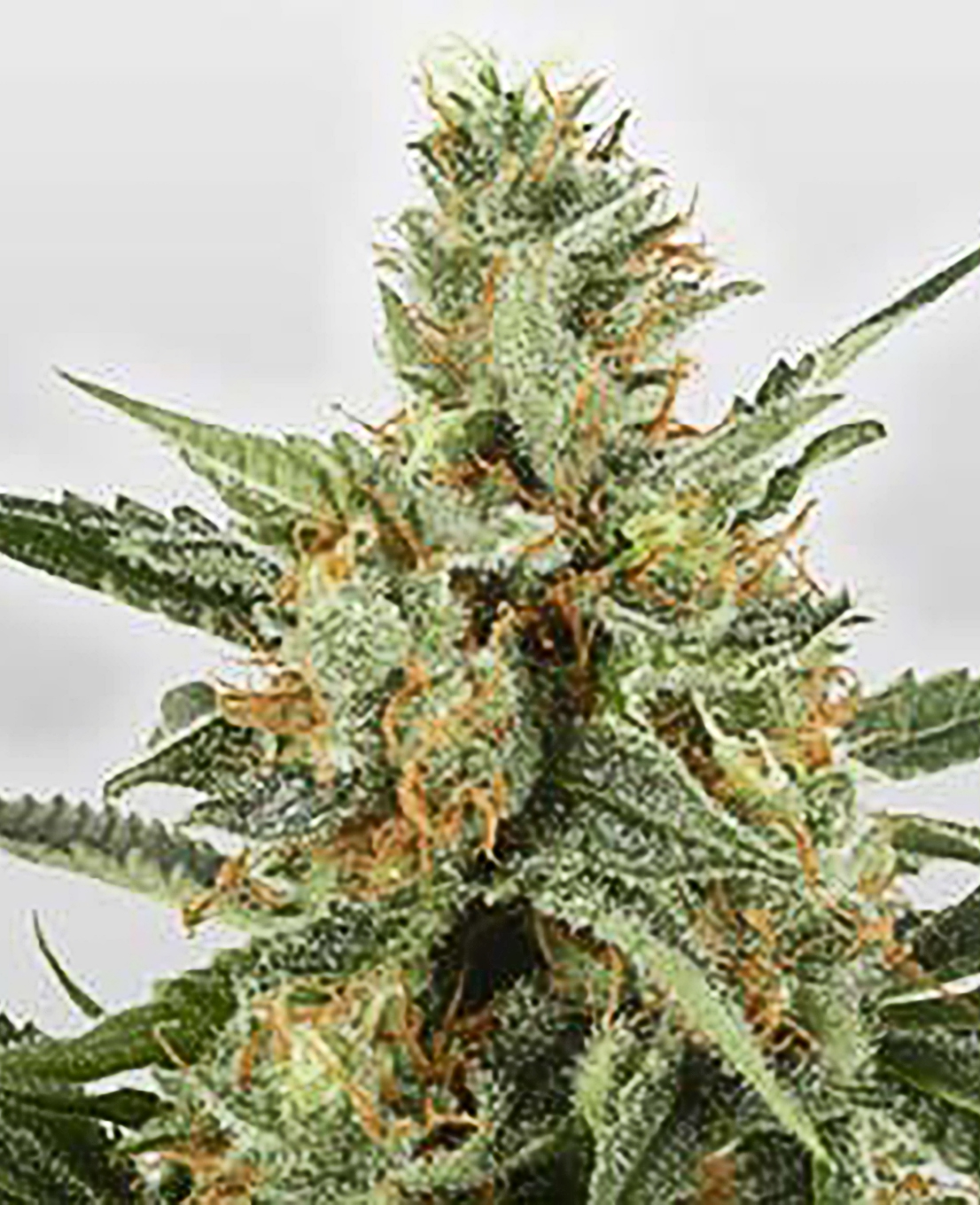 Amnesia Feminized Seeds - Weed Seed Shop UK