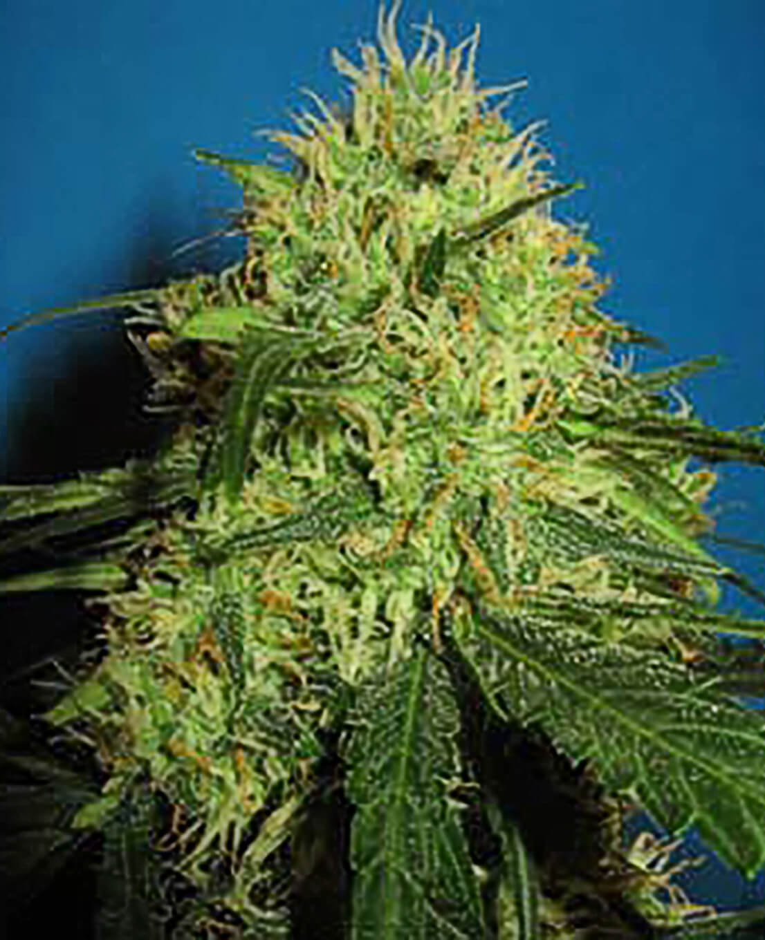 Big Bud Feminized Seeds - Weed Seed Shop UK