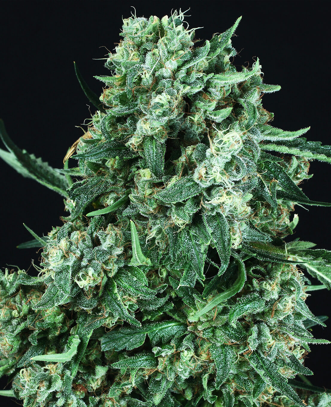 Buy OG Kush Automatic cannabis seeds – Weed Seed Shop