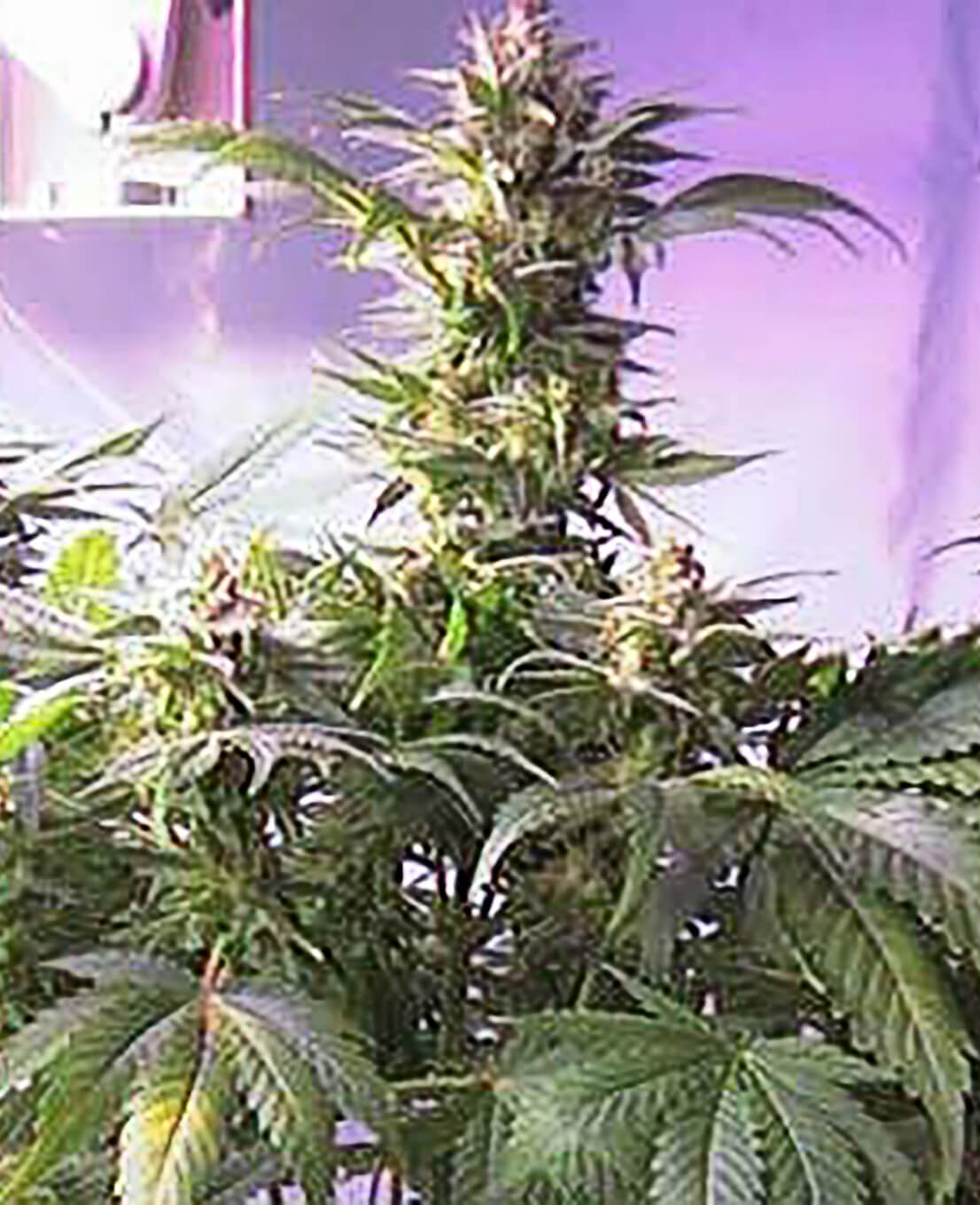 Top 44 Feminized Seeds - Weed Seed Shop