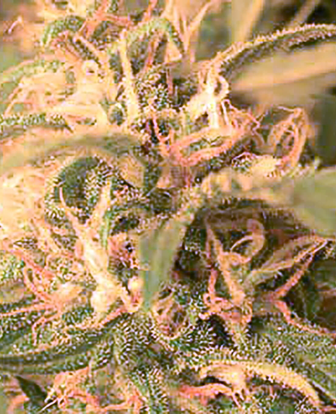 Graines de Northern Lights - Weed Seed Shop