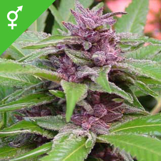 Graines de New Purple Power - Weed Seed Shop