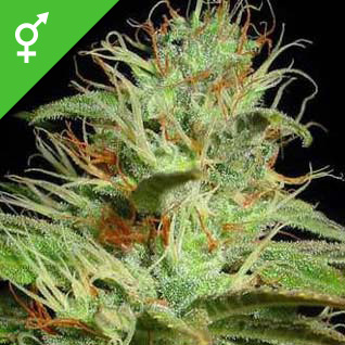 Graines de cannabis Papaya - Weed Seed Shop