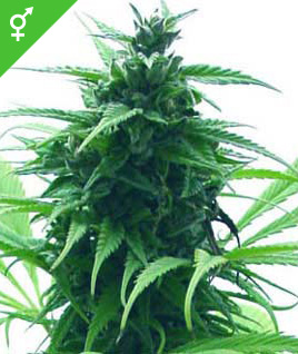 Graines de Super Skunk