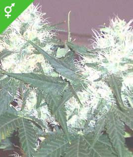 Graines de White Rhino