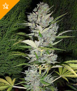 Big Bud Automatic Hanfsamen